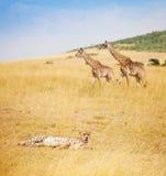 Африканский гепард кладя на траву на саванне, Кении Стоковая Фотография RF