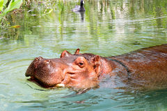 Африканский гиппопотам наслаждаясь водой Стоковое Изображение