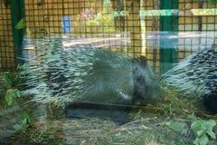Африканский дикобраз tortrix Стоковое Изображение RF