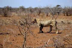 Африканский лев & x28; женщина & x29; Стоковые Фото