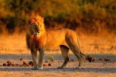 Африканский лев, пантера leo, портрет детали большого животного, выравнивая солнце, национальный парк Chobe, Ботсвана, Южная Афри Стоковое Изображение