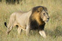 Африканский лев (пантера leo) Южная Африка Стоковое Фото