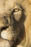 Африканский лев (пантера leo) Южная Африка Стоковые Изображения RF