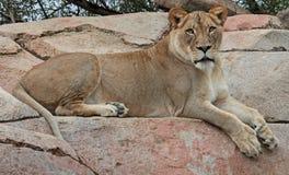 Африканский лев Стоковые Изображения RF