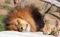Африканский лев Стоковая Фотография
