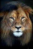 Африканский лев стоковое изображение rf