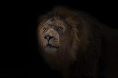 Африканский лев Стоковая Фотография RF