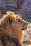 Африканский лев Стоковые Фотографии RF