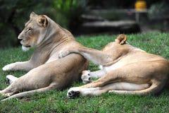 Африканский лев стоковые фото