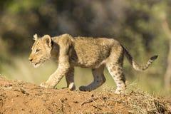 Африканский лев Cub (пантера leo) Южная Африка Стоковое Изображение RF