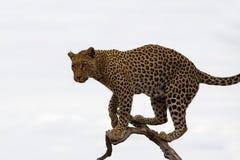 Африканский леопард в дереве с полностью предпосылкой облачного неба стоковые фото