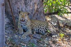 Африканский леопард в перепаде Okavango стоковая фотография rf