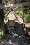 Африканский леопард ждать в тени стоковая фотография
