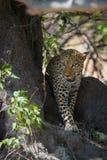 Африканский леопард идя в тень стоковая фотография rf