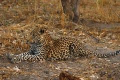 Африканский леопард красивая большая кошка Стоковые Фото