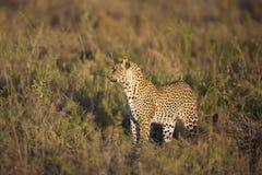 Африканский леопард на Великих равнинах Serengeti Стоковое Изображение RF