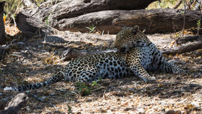 Африканский леопард очищая свое мех стоковая фотография rf