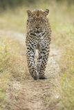 Африканский леопард (pardus) пантеры Южная Африка Стоковое Изображение RF