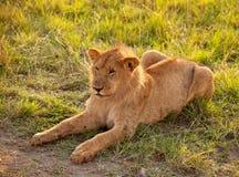 африканский женский львев Стоковое фото RF