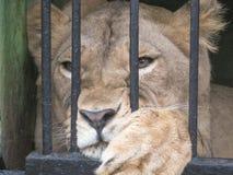 африканский животный звеец льва клетки кабалы Стоковые Фотографии RF