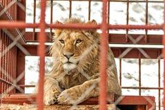 африканский животный звеец льва клетки кабалы Стоковое Изображение RF