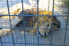 африканский животный звеец льва клетки кабалы Стоковые Фото