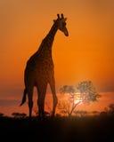 Африканский жираф идя на заход солнца Стоковое Изображение