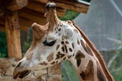 Африканский жираф на парке сафари стоковое изображение rf
