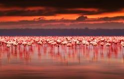 африканский заход солнца фламингоов Стоковое Изображение RF