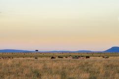 Африканский заход солнца в Maasai Mara Стоковая Фотография RF
