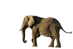 африканский изолированный слон Стоковое Изображение RF