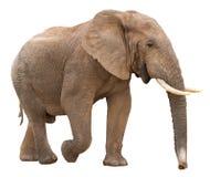 африканский изолированный слон стоковые фото