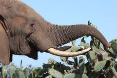 африканский кактус есть слона стоковое изображение rf
