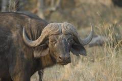 африканский конец буйвола вверх стоковое фото