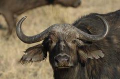 африканский конец буйвола вверх Стоковая Фотография RF