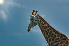 Африканский конец жирафа вверх стоковые изображения rf