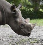 Африканский конец черного носорога вверх Стоковое фото RF