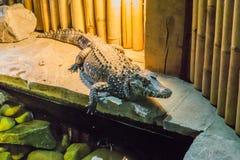 Африканский крокодил карлика также знает как костлявый или широкий snouted крокодил дикое животное от Африки стоковые изображения