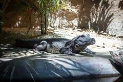 Африканский крокодил карлика Стоковое Изображение