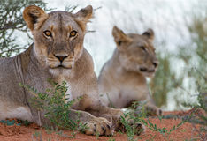 Африканский крупный план львицы львов Стоковое Изображение