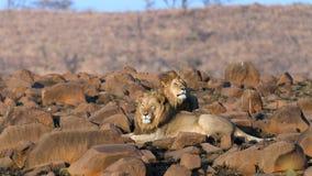 Африканский крупный план львицы львов Стоковые Фото