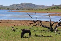 Африканский ландшафт - сухое дерево и голубое wildebeast пася перед озером стоковое фото rf