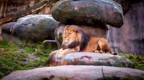 Африканский лев отдыхая в тени Стоковая Фотография RF