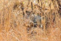 Африканский лев пряча в длинной траве Стоковая Фотография