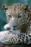 африканский леопард Стоковые Фотографии RF