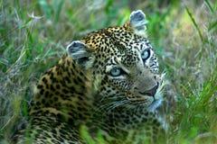 африканский леопард Стоковое фото RF
