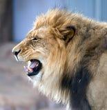 африканский львев ревя Стоковое фото RF