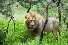 африканский львев старый Стоковые Фото