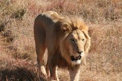 африканский львев Стоковое Фото