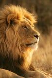 африканский львев стоковое изображение rf